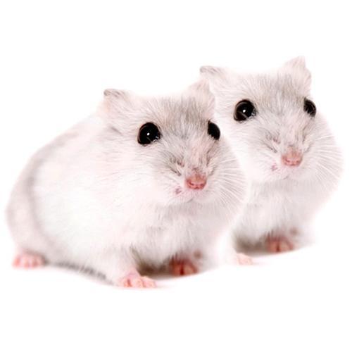 布丁仓鼠变色的原因,如何挑选不变色的仓鼠?