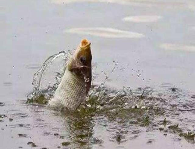 淡水鱼有哪些