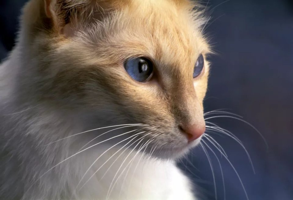 巴厘猫天生就具备强大的运动员的气质