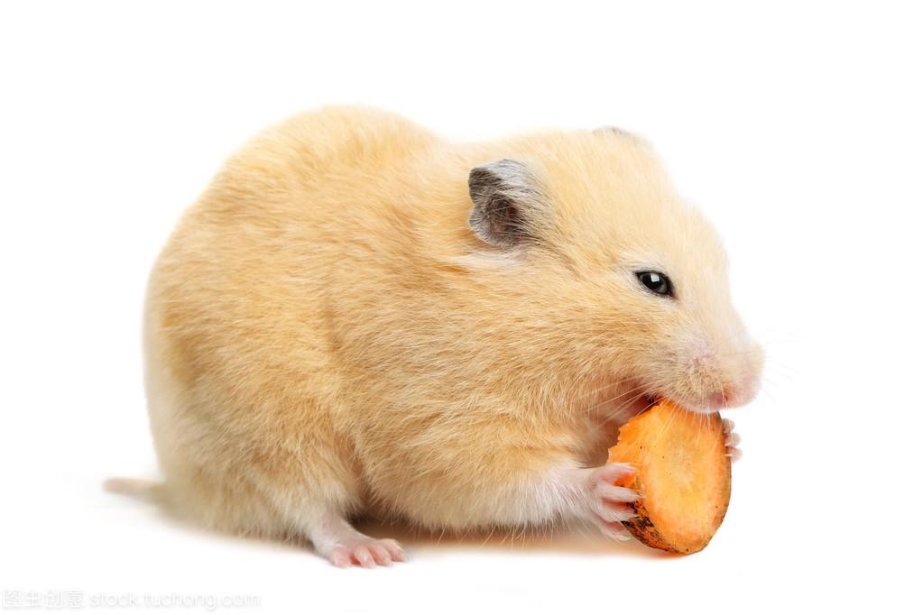 仓鼠吃什么