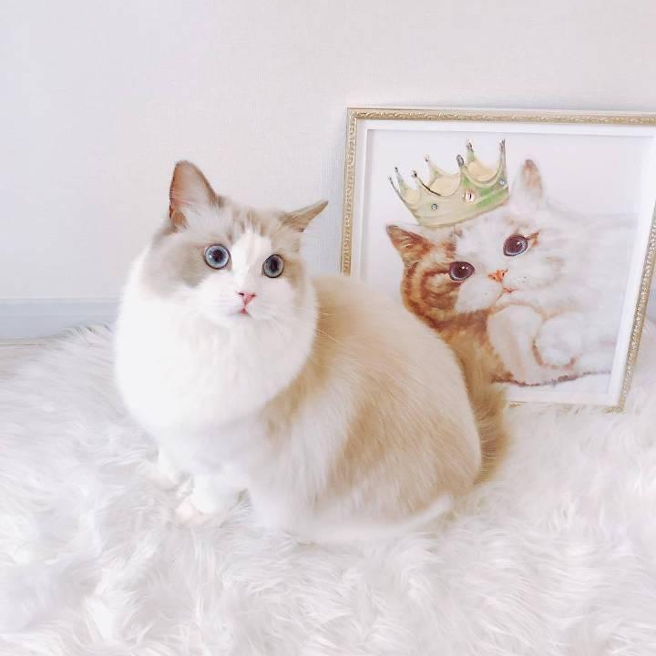 布偶猫价格多少钱一只