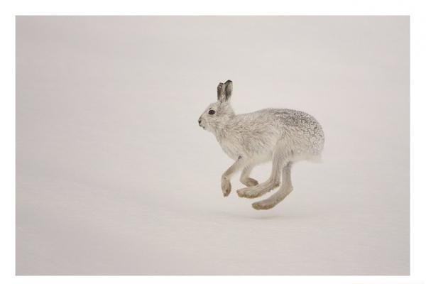 雪兔的繁殖方式是怎么样的呢?