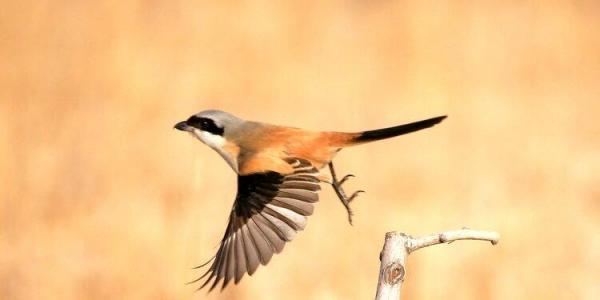 伯劳鸟是怎么样的一种鸟类动物呢?