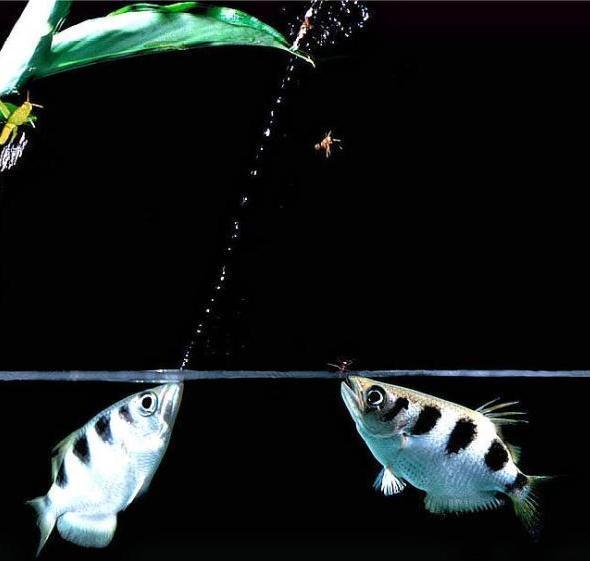 射水鱼的捕食方式是怎么样的呢?