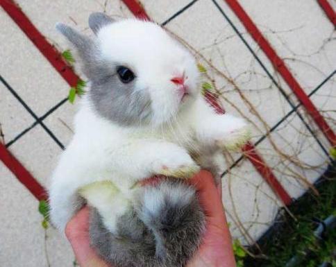 侏儒兔的生活习性有哪些