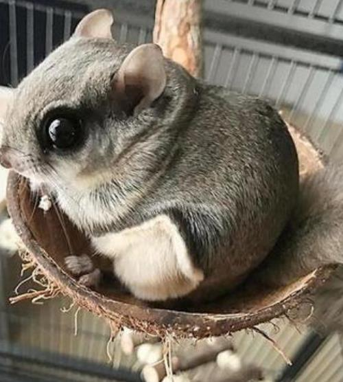 鼯鼠是什么动物来的?它的生活习性是怎么样的?