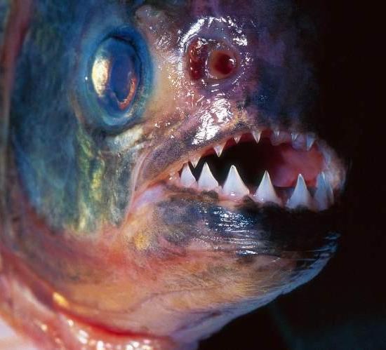 食人鲳是怎么样的一种鱼?外形特征是怎么样的?