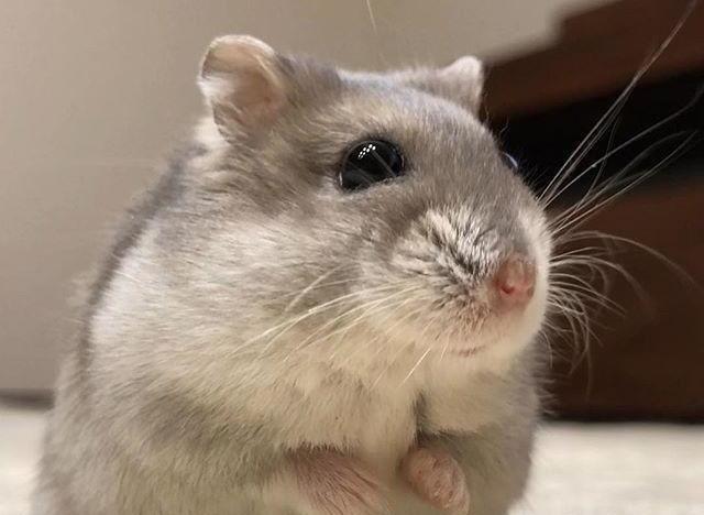 三线仓鼠的习性是什么?三线仓鼠喜欢吃什么?