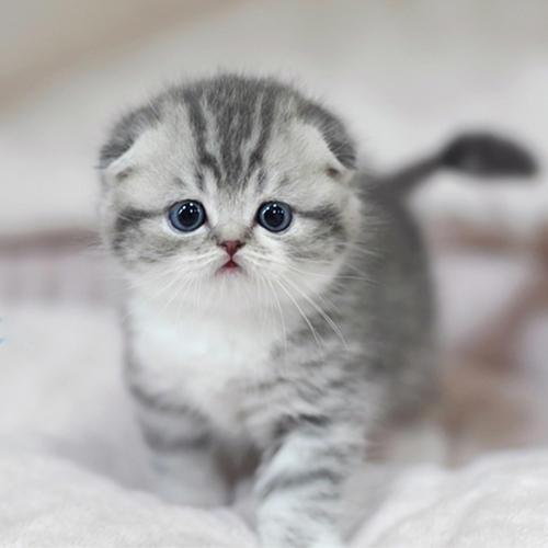 虎斑猫的饲养要点是什么