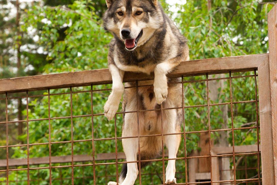 忠犬八公是什么狗