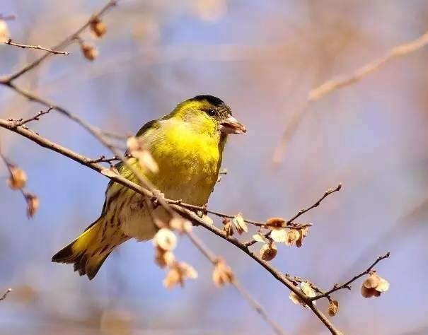 关于黄雀你知道多少呢?黄雀的生活习性是怎样的呢?
