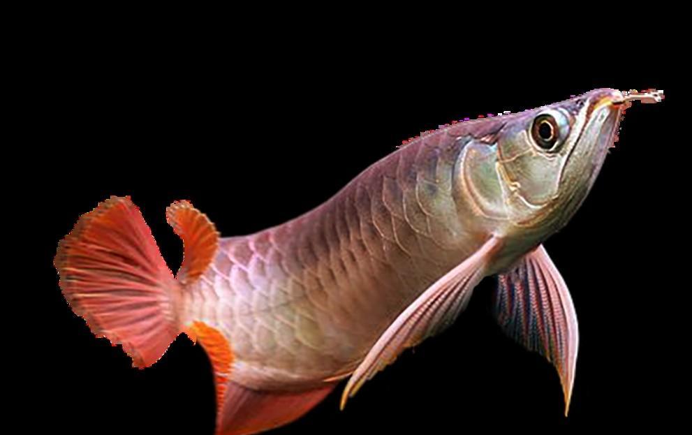 金龙鱼价格一般是多少?金龙鱼价格为什么这么高?