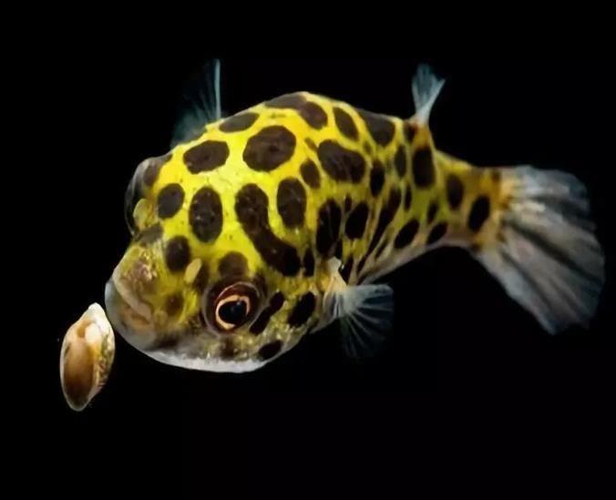 潜水艇鱼如何喂养?潜水艇鱼长什么样子?