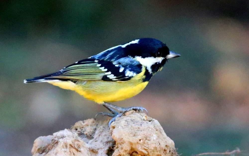 黄腹山雀圆鼓鼓的身材、亮黄色的肚子格外的萌