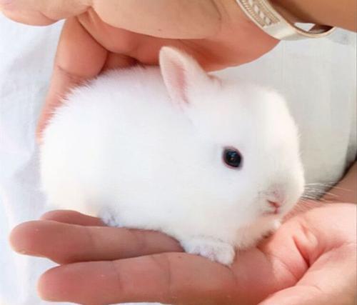 如何正确喂养荷兰侏儒兔?荷兰侏儒兔寿命是多久?
