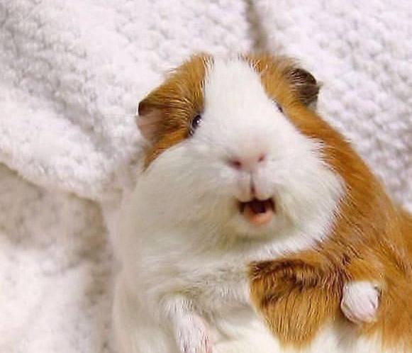 荷兰猪吃什么