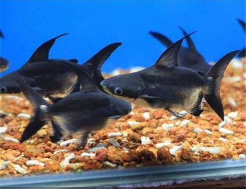 成吉思汗鱼的饲养条件,又有哪些风水作用?