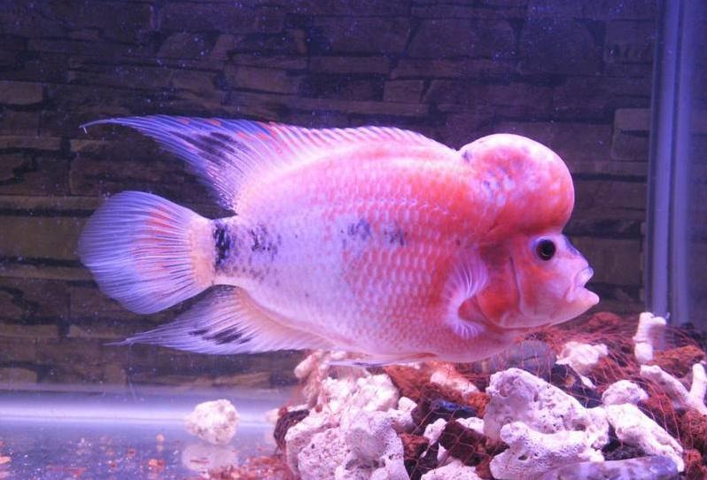 寿星公是什么鱼?寿星公可以活多久?