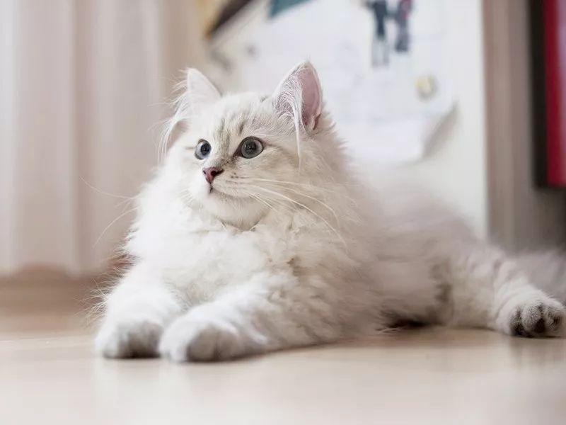 西伯利亚森林猫饲养需要注意什么