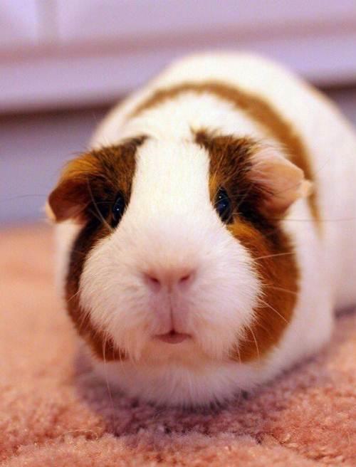 如何饲养荷兰猪?荷兰猪咬人吗?