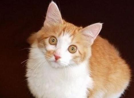 安哥拉猫是什么性格