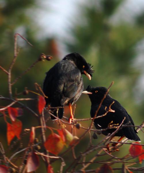八哥鸟图片  怎样管理调教好一只八哥鸟