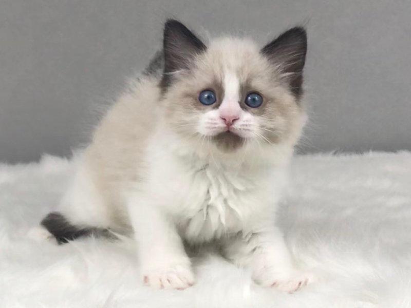 布偶猫价格