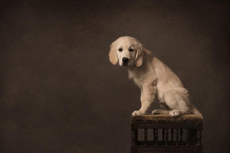 金毛幼犬应该怎么选