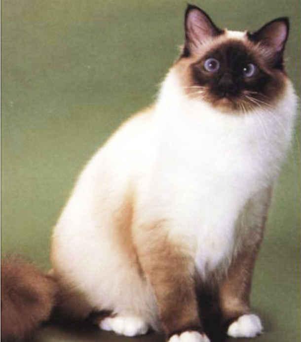 伯曼猫的体型怎样?如何饲养?