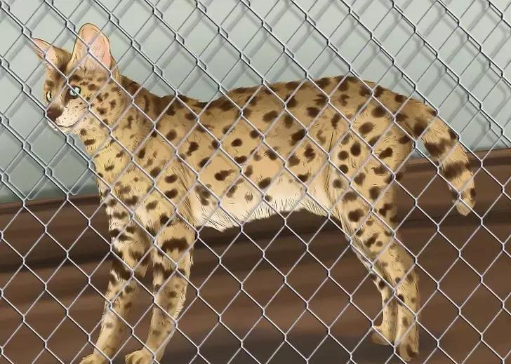 萨凡纳猫的习性是什么?喜欢吃什么?