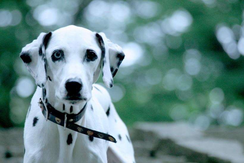大麦町犬被有些国家禁养的原因