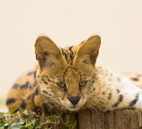 薮猫的形态特征是怎么样的呢?