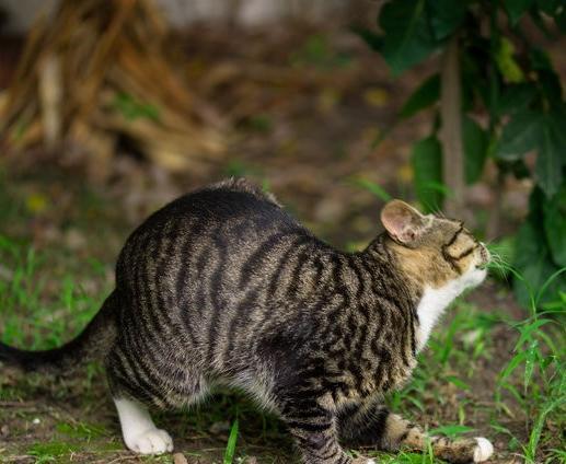 豹猫是一种什么动物