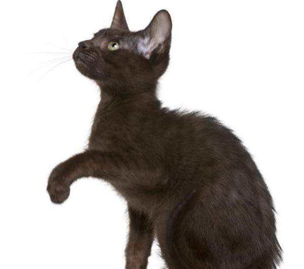 索马里猫的毛发应该怎么梳理呢?