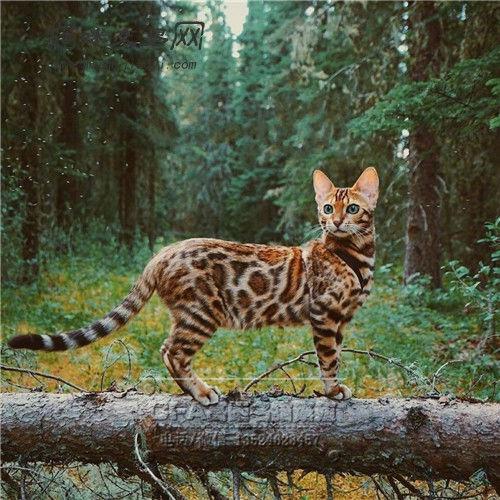 豹猫多少钱