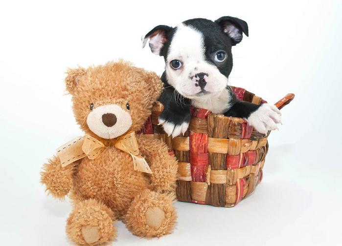 友善的伴侣犬——波士顿梗犬