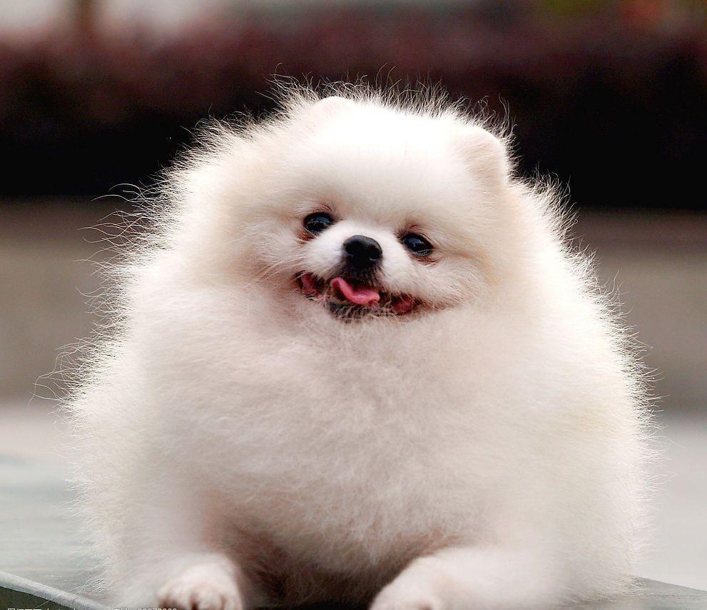 看完博美犬图片,你喜欢上它们的灵气了吗?